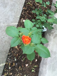 a St. Joseph's rose that I planted in honor of my grandfather